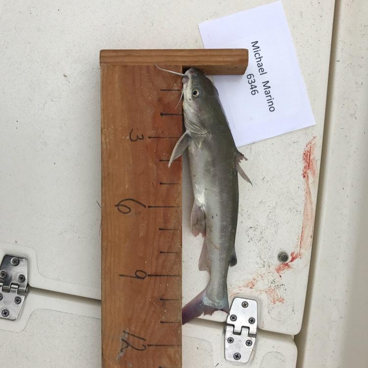Catfish day 1 marino