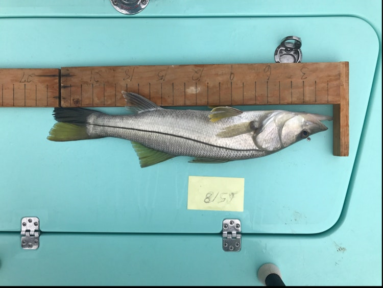 Snook day 1 musico