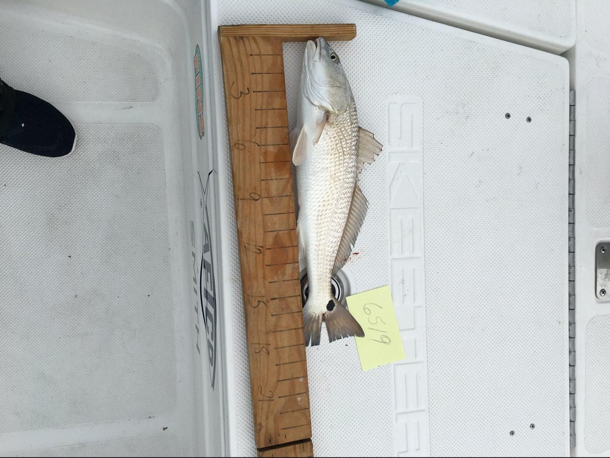 Redfish day 1 musico