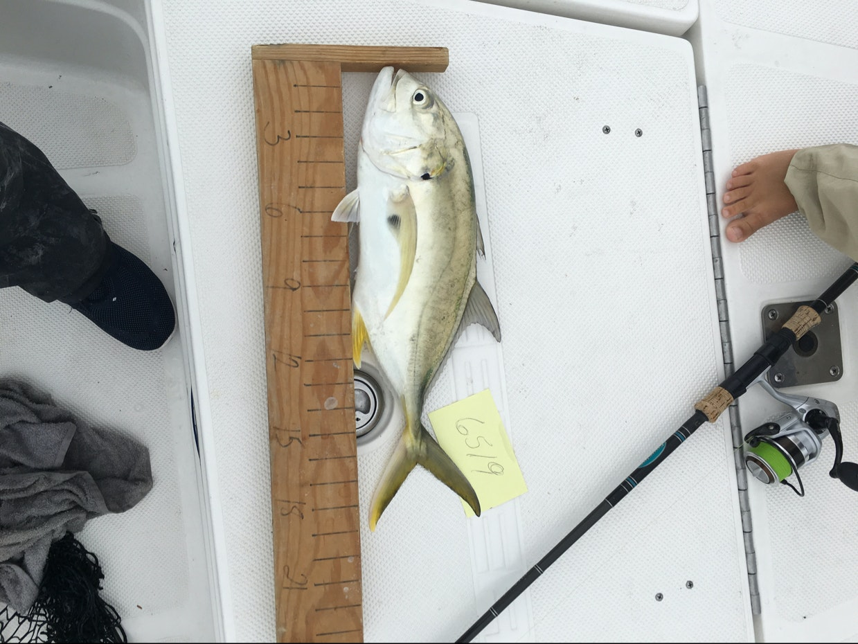 Jack crevalle day 1 musico