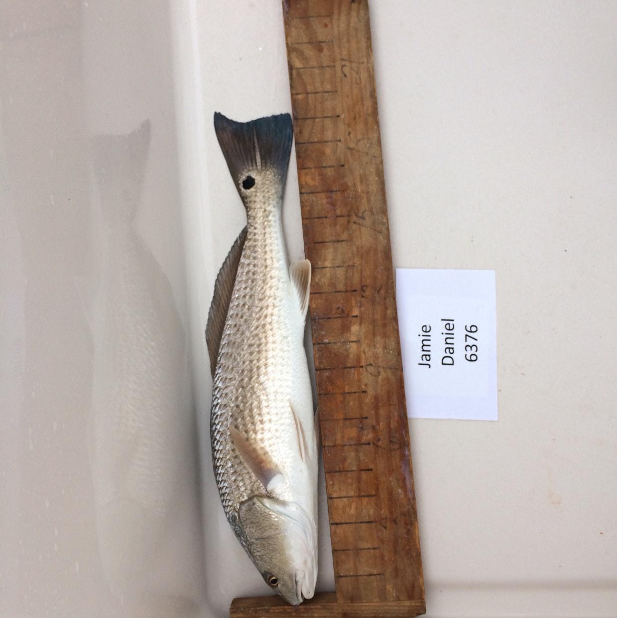 Redfish day 1 daniel