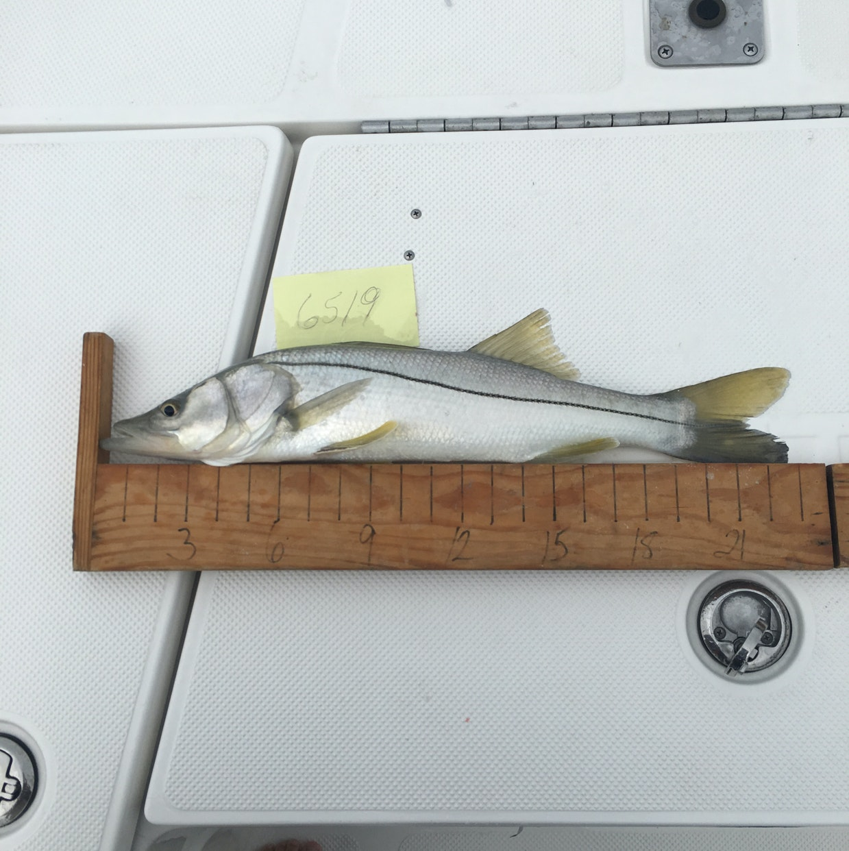 Snook day 2 musico